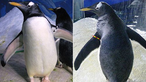 'Gay' penguins prepare to breed