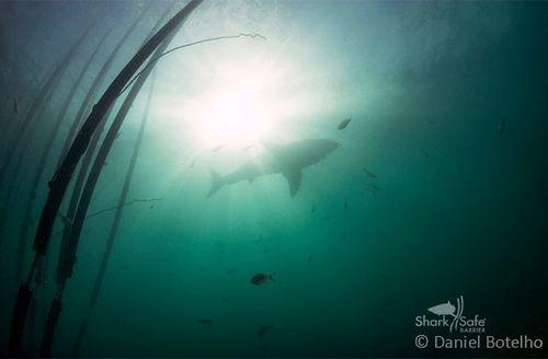 A great white shark peacefully swims around the Sharksafe Barrier (Photo courtesy, Daniel Botelho / Sharksafe Barrier)