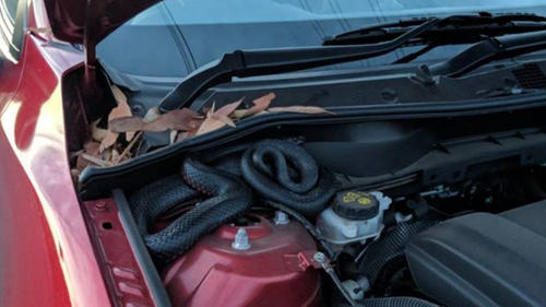 Despite reading the note, Michael Garbutt was still surprised when he found the snake in his bonnet. (9NEWS)