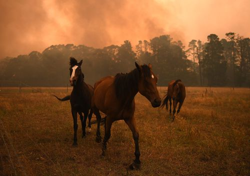 Horses are seen in a paddock as the Gospers Mountain Fire impacts a property at Bilpin
