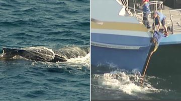 Rescue mission falls flat with no sign of entangled whale