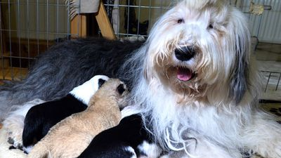 A lion cub who was abandoned at birth by his parents has been cuddling up to a shaggy-haired sheepdog and mother-of-five at a private zoo in Poland.