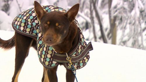 Dusty the kelpie was kept on a lead by his former owner for days without food or water. (9NEWS)