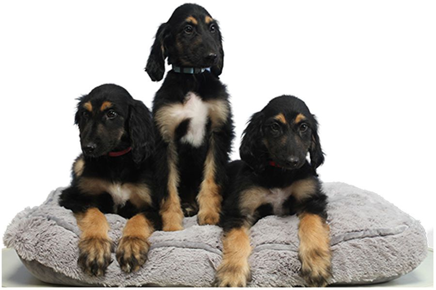 Scientists reveal the puppy clones of the first cloned dog