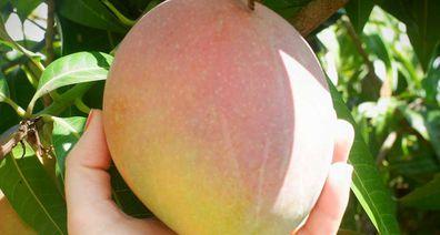 Ripe mango on the tree