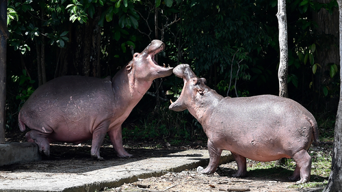 Escobar brought the hippos to his ranch in the early 1980s.