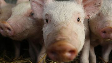 The swine flu was the last global pandemic declared by the WHO in 2009.