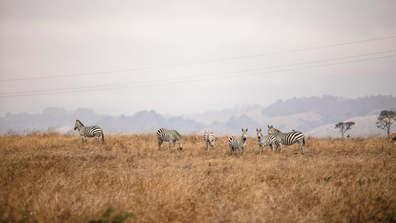 The now-wild zebras of San Simeon graze along California's Highway One.