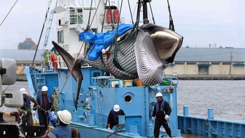 A minke whale is lifted off a boat after it was caught on the first day after the resumption of commercial whaling, in Kushiro, Hokkaido, Japan.