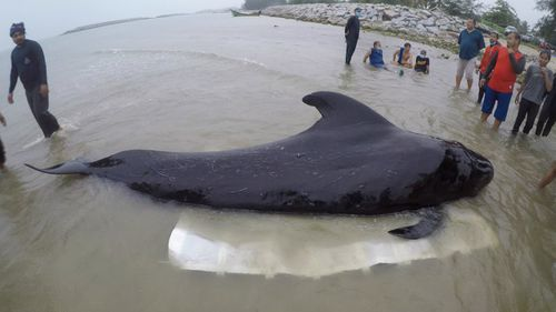 A pilot whale that died in waters in southern Thailand was found struggling to swim after eating 80 plastic bags. Picture: Twitter.