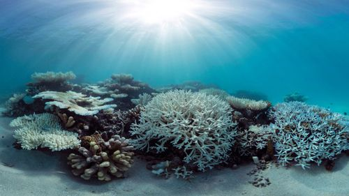 Coral has bleached white due to heat stress in the Maldives. (The Ocean Agency/Catlin Seaview Survey)