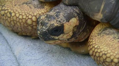Second tortoise returned to Perth Zoo