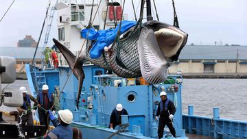 A minke whale is lifted off a boat after it was caught on the first day after the resumption of commercial whaling, in Kushiro, Hokkaido, Japan