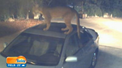 Sometimes it seems animals just can't help themselves from trying to be human. Click through the gallery for a collection of videos showing animals in some interesting encounters with cars. First up, a mountain lion gets close and personal with a Toyota Camry, much to the dismay of the Californian owner.