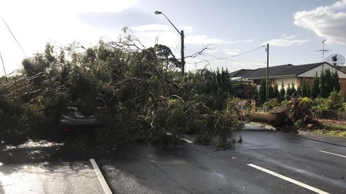 A huge tree down in Carlingford.