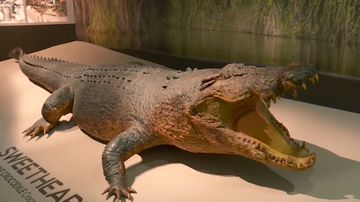 'Sweetheart' - The Northern Territory's iconic croc