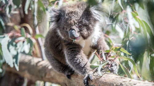 Koalas Believed Dead After Massive Wildfire in Australia