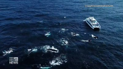Mega-pod of over 100 humpback whales seen on the south coast of New South Wales.