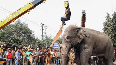 Authorities taking on the delicate task of connecting the sedated elephant to a crane. (AP)