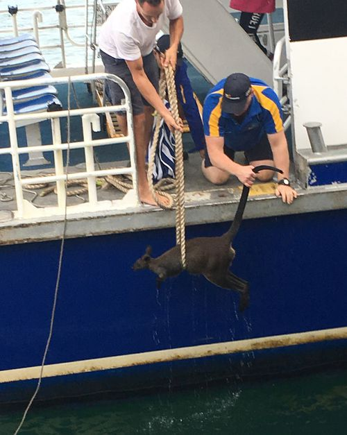 The wallaby was pulled onto the ferry. (9NEWS)