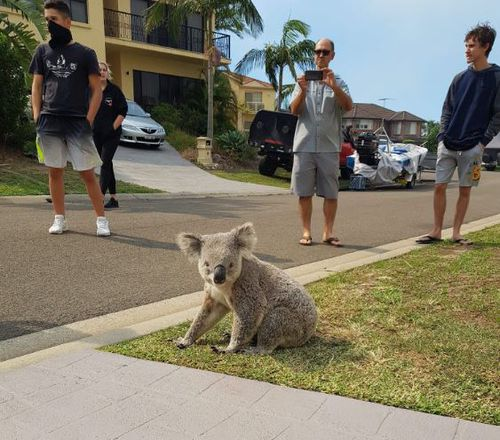 The marsupial left the bushfire zone at Alfords Point this afternoon and walked into a street. (Picture: Michelle Taverniti)