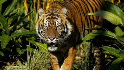 A tiger. (AAP)