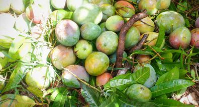 The mangoes that didn't make it, harvest is a race against falling fruit