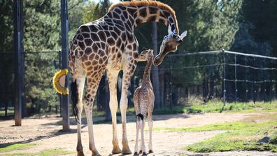 190702 Australia National Zoo Aquarium baby giraffe birth announcement wildlife animals news ACT