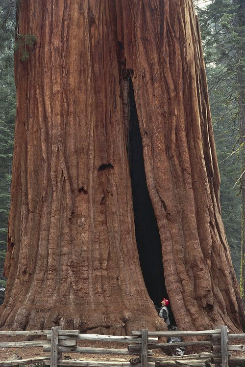 Low section view of a Sequoia tree, in Sequoia National Park, California, USA