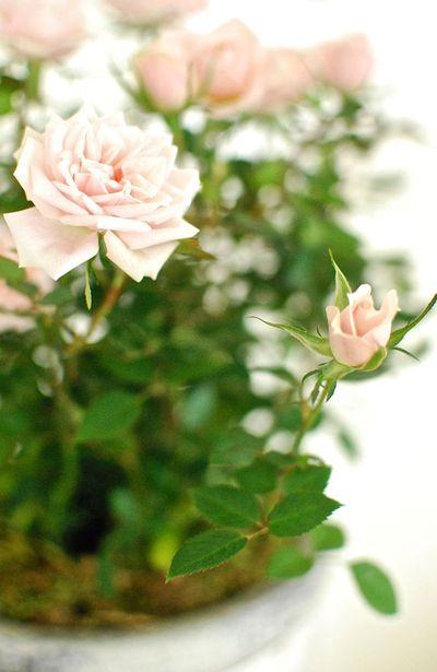 10. Roses