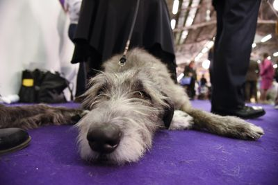 <strong>Irish wolfhound</strong>