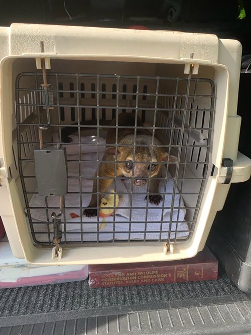 A wily kinkajou ran into a Florida home and bit a man's feet in July, Florida wildlife officials said.