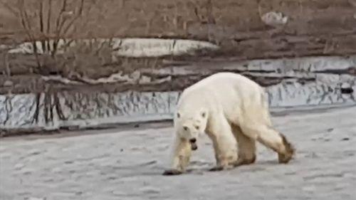 190620 Russia polar bear Norilsk climate change animals wildlife news World