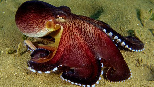 Savvy squid, octopuses and cuttlefish on the rise despite warming oceans