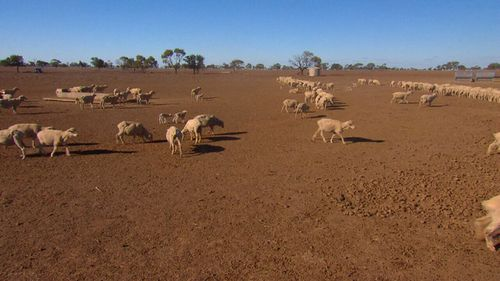 Farmers are losing livestock because they are unable to survive the harsh conditions. Image: 9News