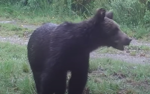First brown bear spotted in Spanish national park in 150 years