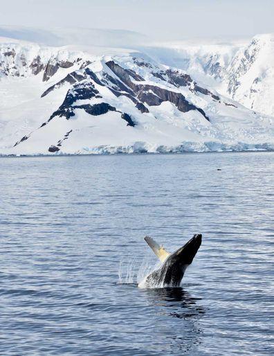 Antartica breaching humpback whale