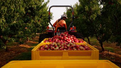 Nectarines ready for packing for Australian summer stone-fruit season