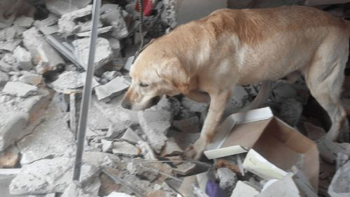 Hero dog dies of exhaustion after pulling seven Ecuadorian earthquake victims to safety
