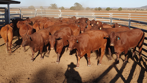 The last of the Browns' Santa Gertrudis cows, which they were forced to sell.