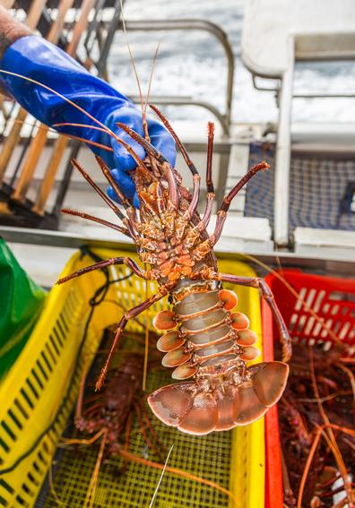 WA Rock Lobster