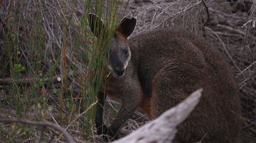 Wallaby who brought Harbour Bridge traffic to standstill released