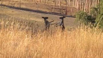 Sparring kangaroos stun onlookers