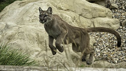 Mountain lions rarely attack humans.