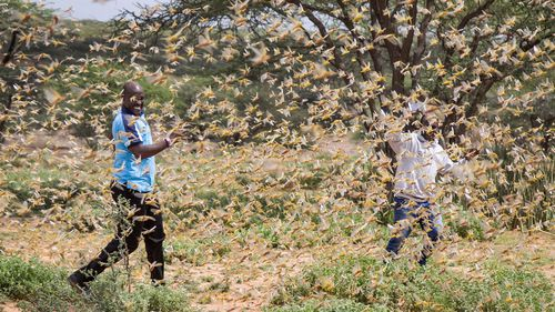 Two Samburu men who work for a county disaster team identifying the location of the locusts, are surrounded by a swarm of desert locusts filling the air, near the village of Sissia, in Samburu county, Kenya