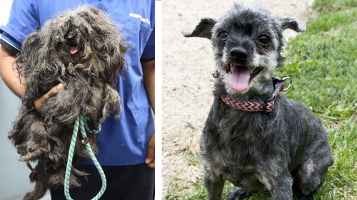 Dog has half a kilo of matted hair removed after 'horrific' RSPCA surrender