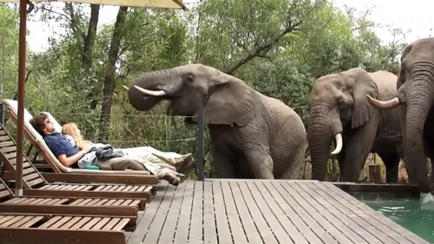 Wild elephants drinks from safari camp pool at Kruger National Park