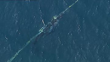 Whale freed from shark net