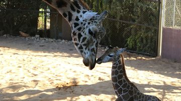 Baby giraffe meets dad for first time