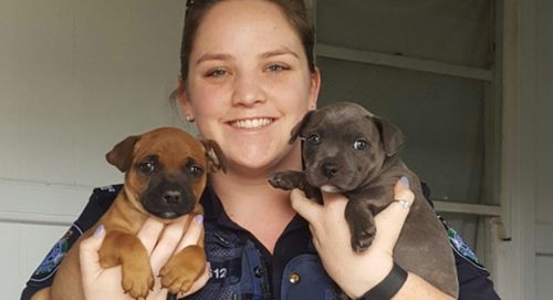 Missing Staffy puppies reunited with owners in Maryborough